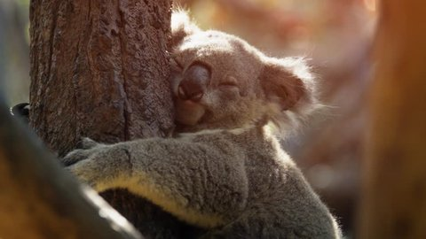 Cute. mature koala in closeup. dozes off as it clings to the trunk of a tree. Ultra HD 4k video with nature sounds.