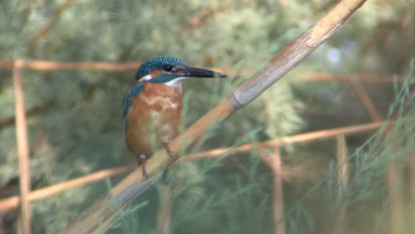 European Kingfisher on a branch Medium shot of European Kingfisher standing on a branch, Yarkon River Israel