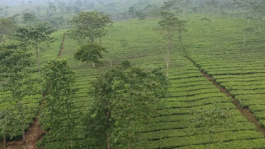 Cinematic drone Trees in tea plantation asia rain forest long shot