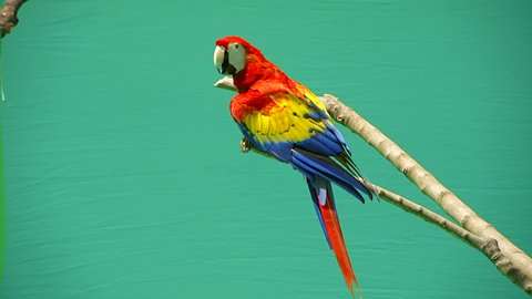 parrot macaw on a green background