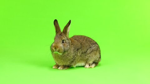 brown  rabbit  moves  isolated on green screen (three months old) studio shot