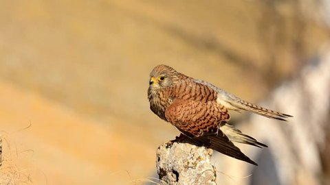 Female of Lesser Kestrel perched on a rock.