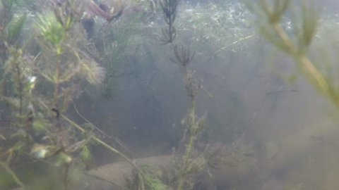 A Newt swims in a fordst lake seen in an underwater view.