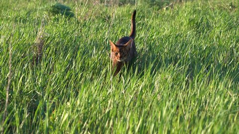 Abyssinian cat enjoying morning walk outdoors on wet green grass with dew drops