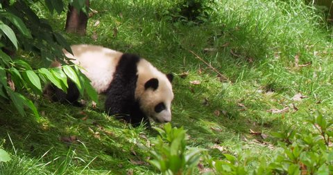 One lovely baby panda bear walking out from trees in the zoo at Chengdu Research Base of Giant Panda Breeding, China,4k