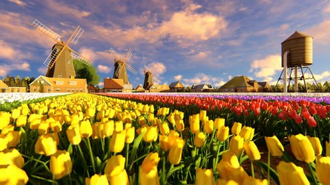 Traditional Dutch Windmills With Vibrant Tulips In The Foreground Tilt