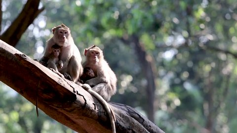 Family Monkey Videos Sitting on a forest tree Of the national park Monkeys are found in Thailand.