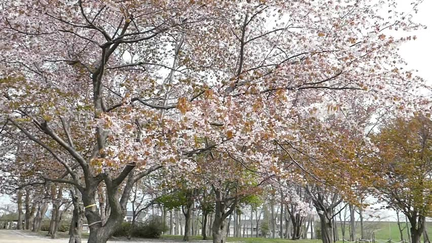 Shooting cherry blossoms at high speed with the petals dancing and blown by the wind