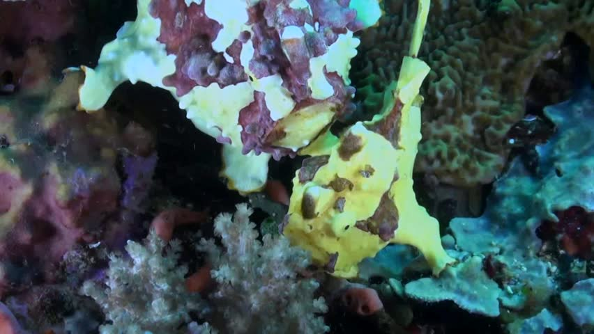 Pair of Yellow Clown Anglerfish / Warty (Antennarius maculatus) Frogfish on a Reef - Philippines