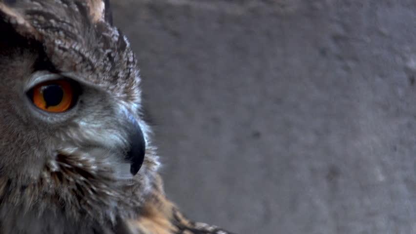 Close-up of an Eurasian eagle owl looking at the camera #1011200933