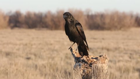 Carrion crow. Corvus corone