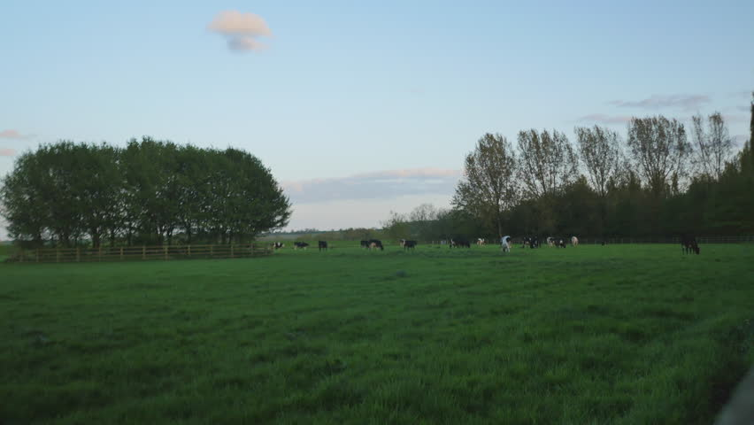 4K British cows grazing in farmers field, agricultural landscape of livestock cattle in a summer meadow with tree and sky horizon.