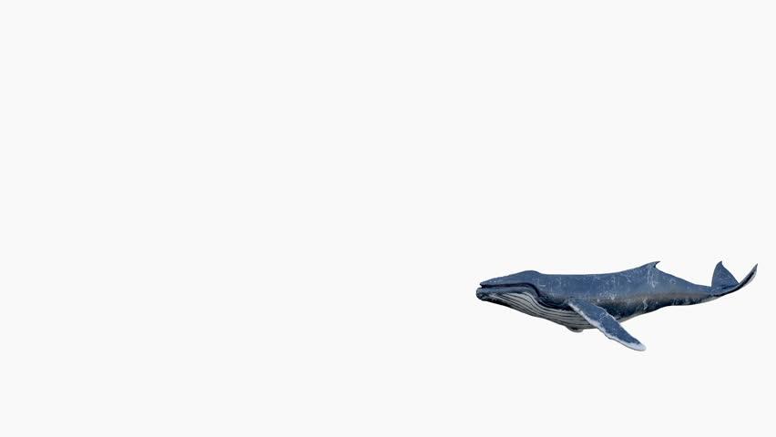 Humpback whale swims.