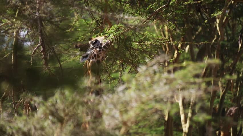 Giraffe in wild Africa / Kenya / Mombasa