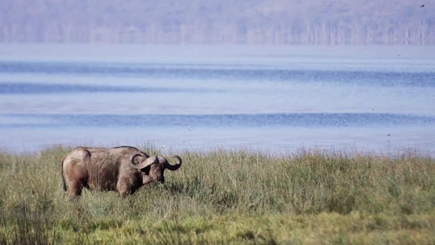 Buffalo in the wild Africa / Kenya / Mombasa wildlife