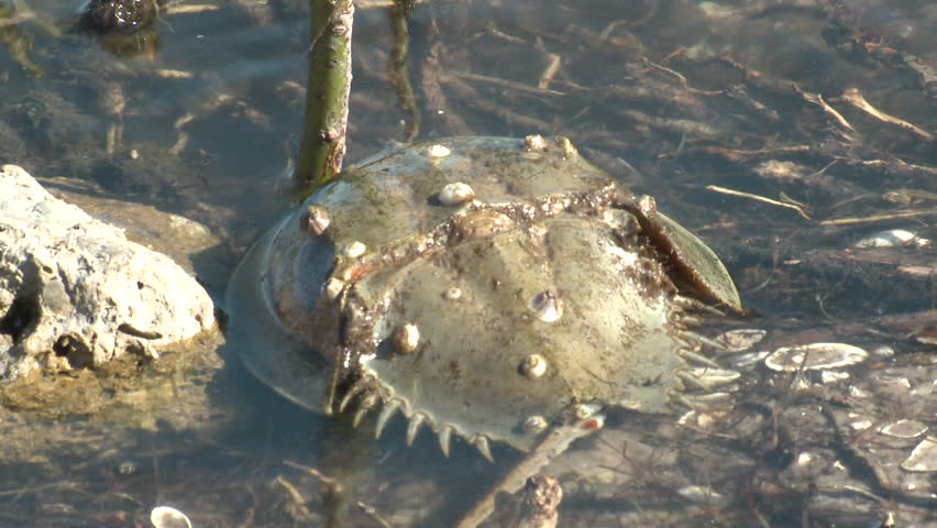 Horseshoe Crab Adult Many Mating Sex Reproduction in Florida