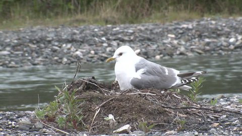 Mew Gull Male Female Adult Chick Young Brood Nesting in Summer in Alaska