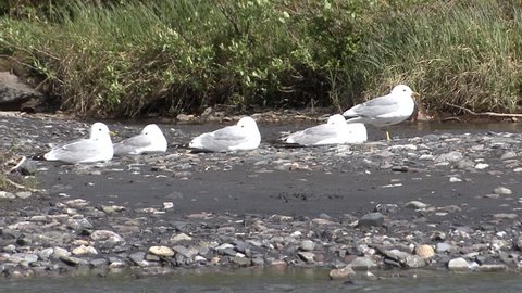 Mew Gull Adult Several Resting in Summer in Alaska