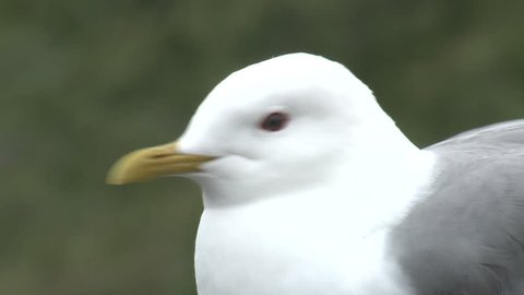Mew Gull Adult Lone Looking Around in Summer in Alaska