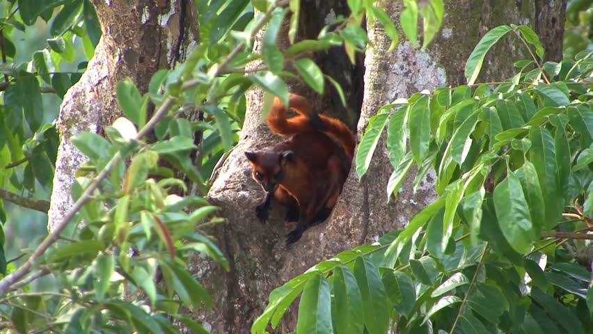 Red Giant Flying squirrel sitting in front of roosting hole looking around