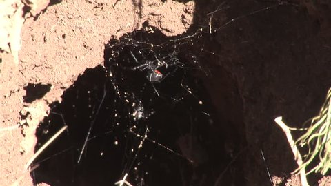 Black-widow Spider Female Adult Lone in Summer Burrow Web in Wyoming