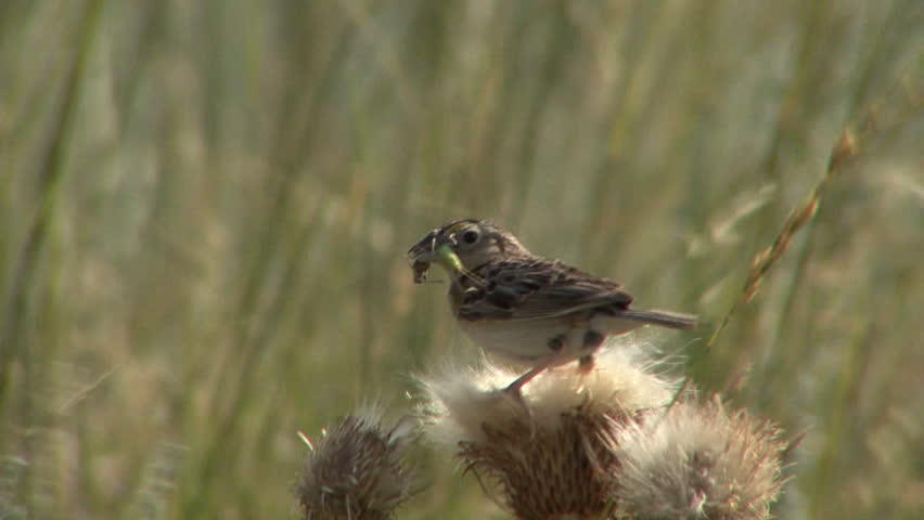 Grasshopper Sparrow Adult Lone Eating in Summer Wind Breeze Predation in South Dakota