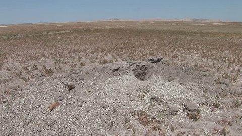 Black-tailed Prairie Dog Several Prairie Dogs Dead Remains Carcass in Summer Kill Site Excavation in South Dakota