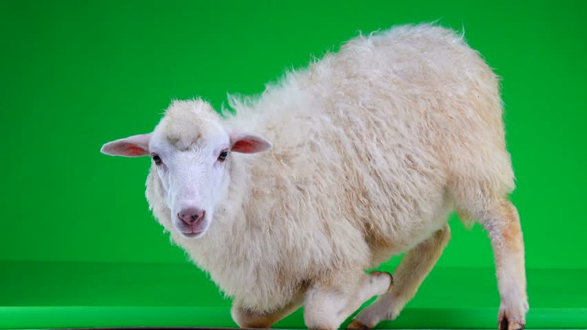 Sheep on her lap on a green screen   Shutterstock HD Video #1011465413