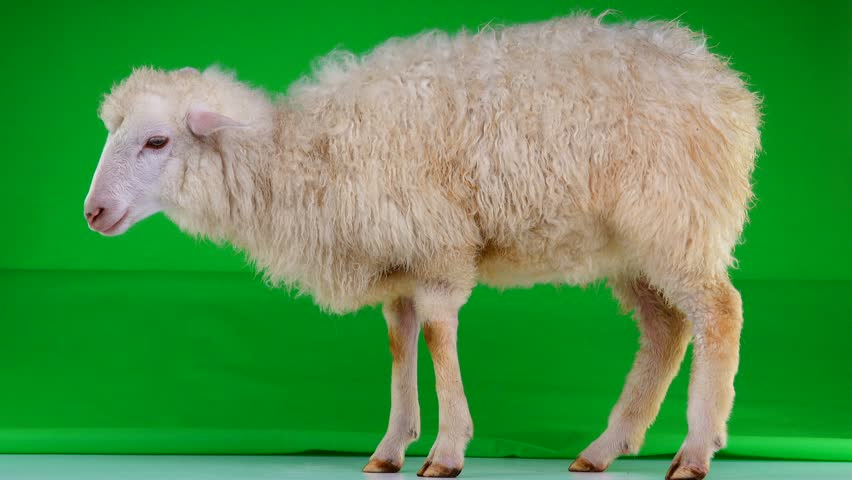 sheep stand on the green screen   Shutterstock HD Video #1011465443