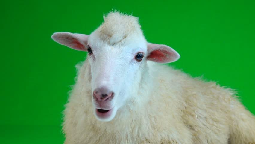 Sheep lies and chews on the green screen   Shutterstock HD Video #1011465473