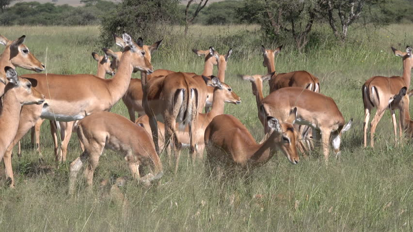 Impala, Herd of Impala, Serengeti, Tanzania, Africa   Shutterstock HD Video #1011469043