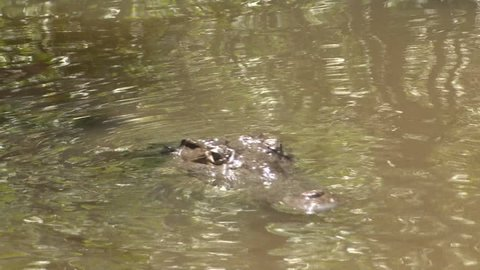 American Crocodile Adult Lone Swimming in Summer Muddy Water Murky in Jamaica