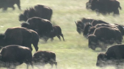 Bison Adult Young Herd Running Stampede in Fall in South Dakota