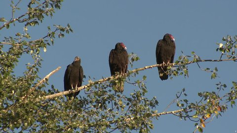 Turkey Vulture Adult Immature Several Vultures Perched Looking Around in Fall in South Dakota