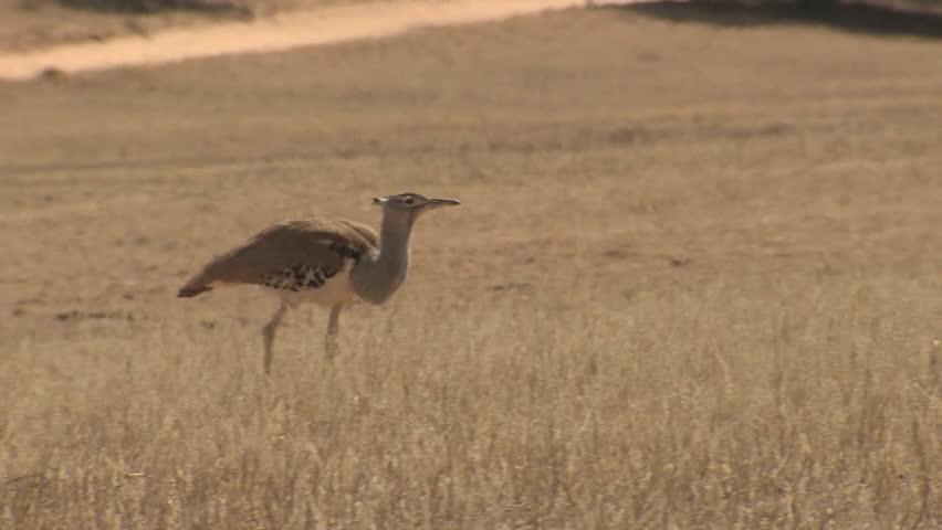 Kori Bustard Adult Lone Foraging Dry Season in South Africa