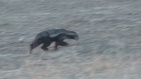 Honey Badger Adult Lone Foraging Dry Season in South Africa