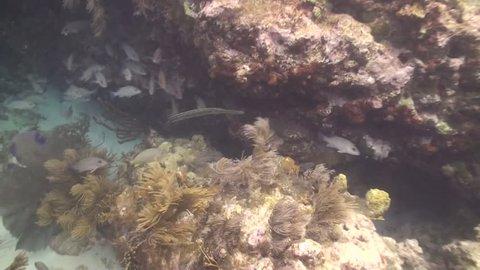 Trumpetfish Adult Lone Resting in Florida