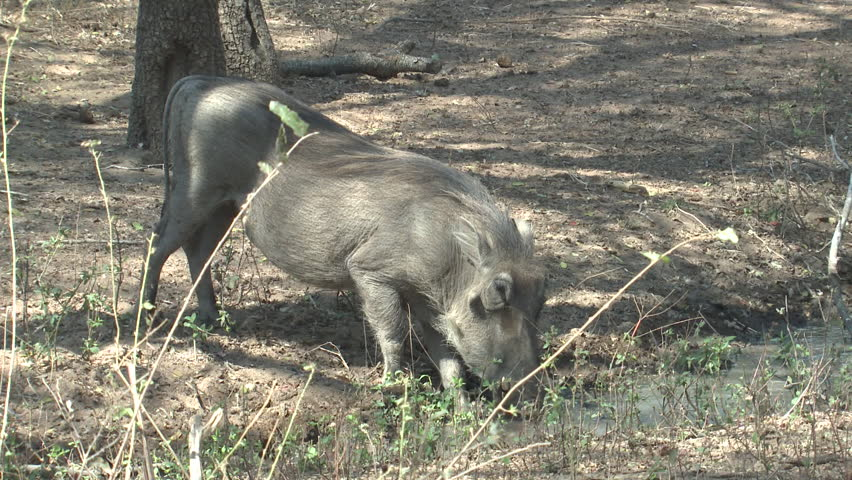 Warthog Adult Lone Drinking Water Dry Season in South Africa