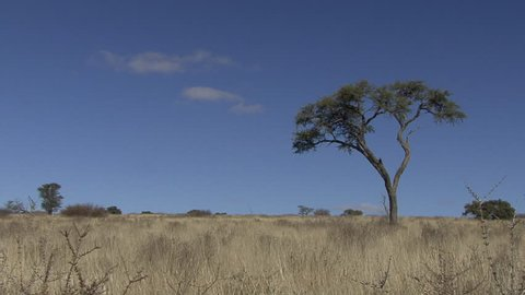 Savannah Savanna Kgadagali Transfrontier Park Dry Season Lone Tree in South Africa