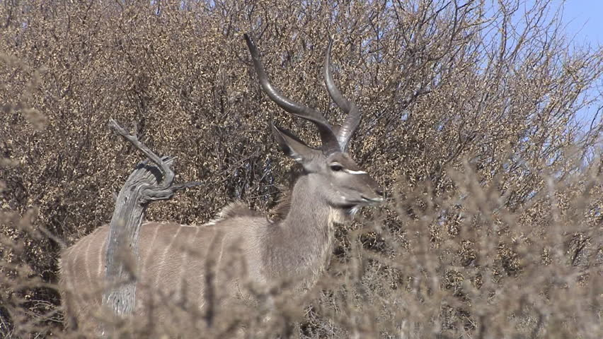 Greater Kudu Buck Male Adult Lone Looking Around Dry Season in South Africa
