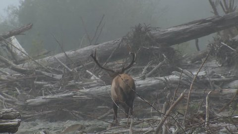 Elk Bull Male Adult Lone Standing Looking At Camera in Fall Dead Trees Fallen Trees Logjam Logs in Washington