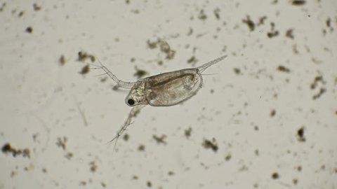 water flea daphnia under a microscope