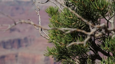 Trees growing on the Southern rim of the Grand Canyon blowing in the breeze looking down over the gorge