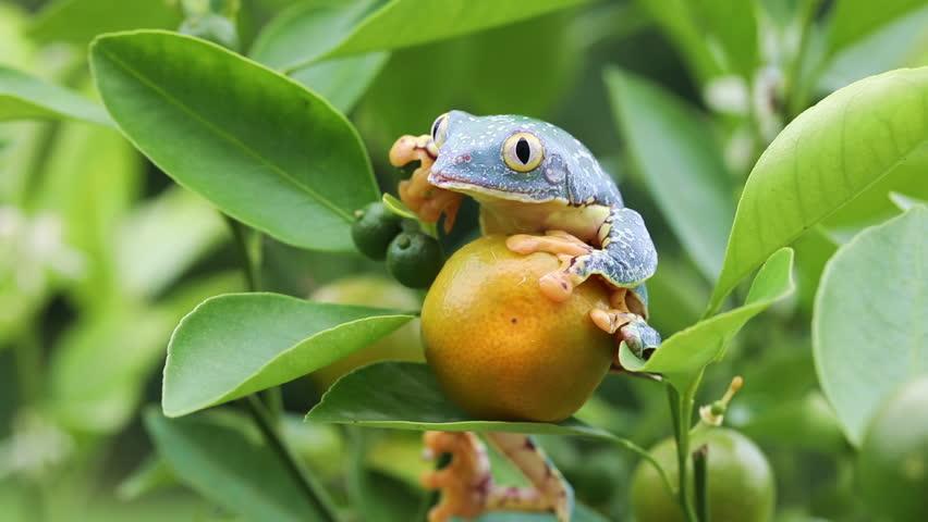 Amazon Leaf Frog / Fringe Tree Frog (Cruziohyla craspedopus) in Fruit Tree