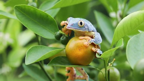Amazon Leaf Frog / Fringe Tree Frog (Cruziohyla craspedopus) in Fruit Tree