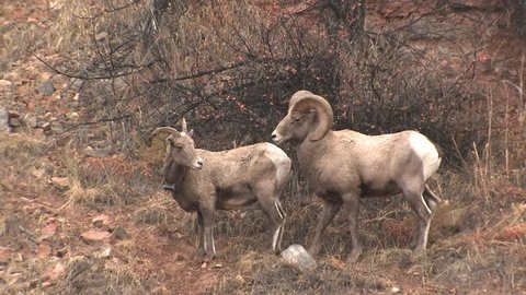Bighorn Sheep Ram Ewe Male Female Adult Pair Mating Sex Reproduction in Fall Sex Erection Copulation in South Dakota