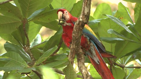Scarlet Macaw Lone Eating Feet in Costa Rica