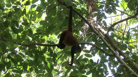Spider Monkey Adult Lone Playing Play Hanging Swinging Tail in Costa Rica