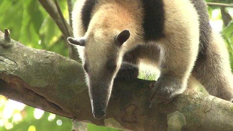Tamandua Adult Lone Northern Snout Nose in Costa Rica