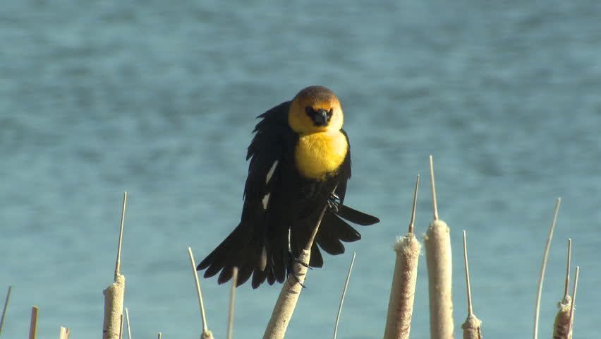 Yellow-headed Blackbird Male Adult Lone Calling in Spring Display Singing in Wyoming